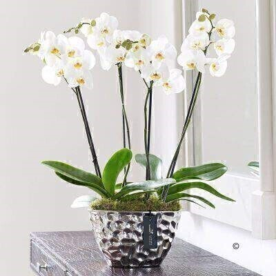 Luxury Phalaenopsis Orchid Planter: Booker Flowers and Gifts